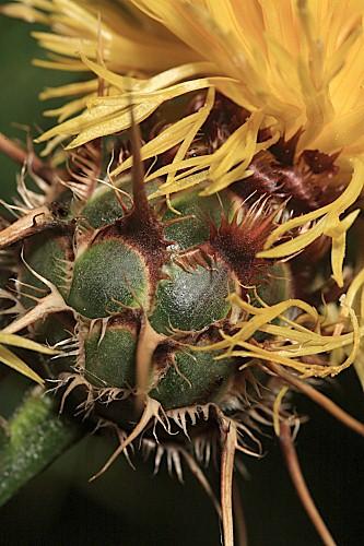 Centaurea kunkelii García-Jacas