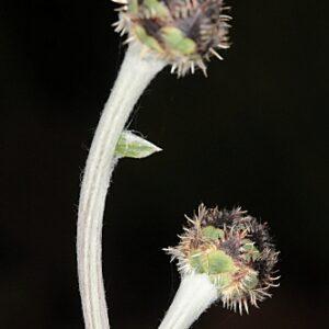 Centaurea lainzii Fern. Casas