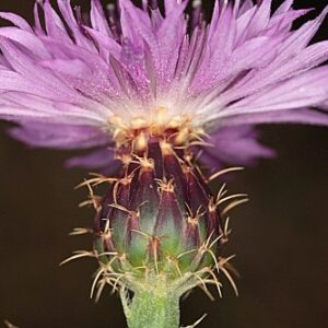 Centaurea malacitana Boiss.