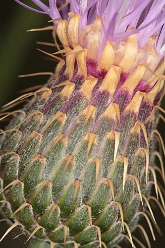 Centaurea maroccana Ball