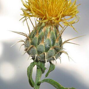 Centaurea ornata Willd.