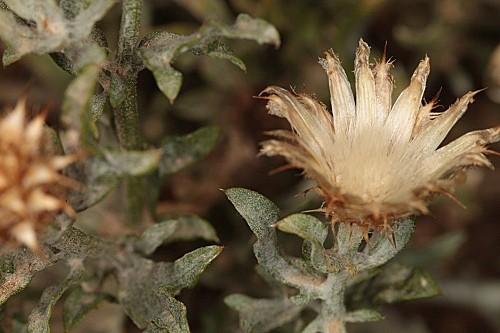 Centaurea pulvinata (Blanca) Blanca
