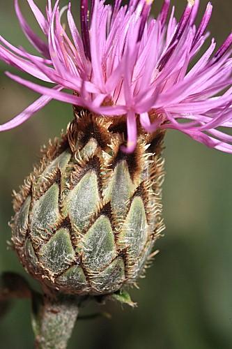 Centaurea scabiosa L.