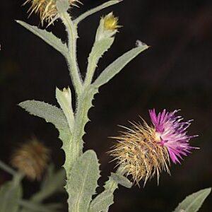 Centaurea seridis L.