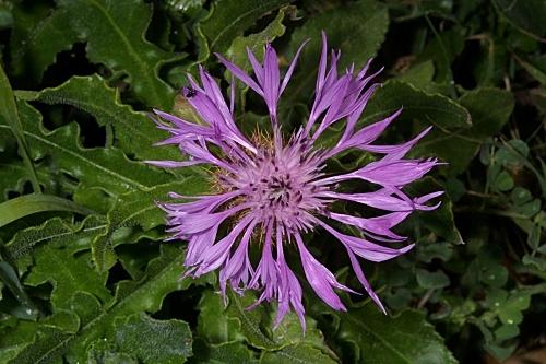 Centaurea sphaerocephala L.