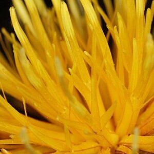Centaurea haenseleri (Boiss.) Boiss. & Reut.