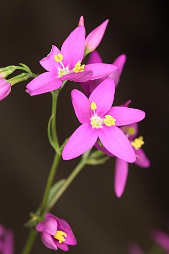 Centaurium erythraea Rafn
