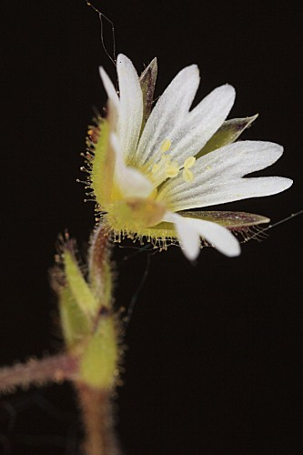 Cerastium fontanum Baumg.