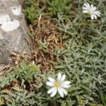 Cerastium gibraltaricum Boiss.