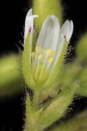 Cerastium glomeratum Thuill.