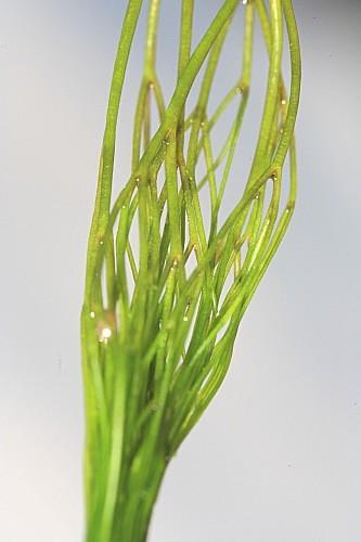 Ceratophyllum demersum L.