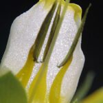 Cerinthe gymnandra subsp. gymnandra Gasp.