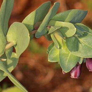 Cerinthe major L.