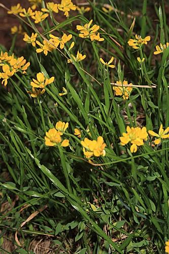 Chamaespartium sagittale (L.) P.E. Gibbs
