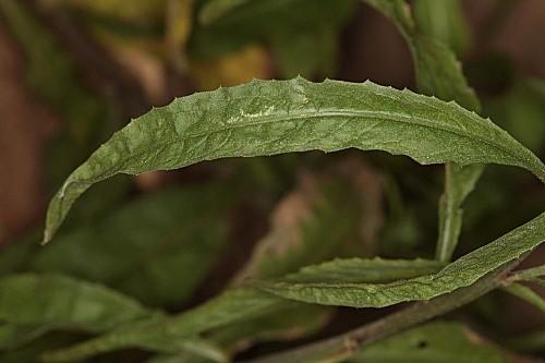 Cheirolophus uliginosus (Brot.) Dostál