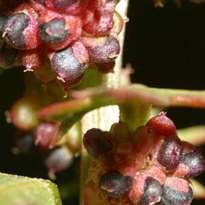 Chenopodium foliosum Asch.