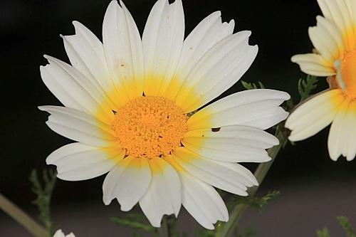 Chrysanthemum coronarium L.
