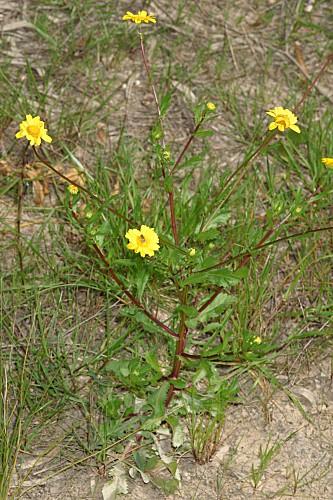 Chrysanthemum segetum L.