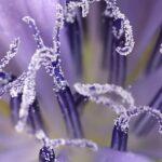 Cichorium intybus L.