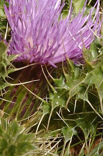 Cirsium acaulon subsp. gregarium (Boiss. ex DC.) Talavera