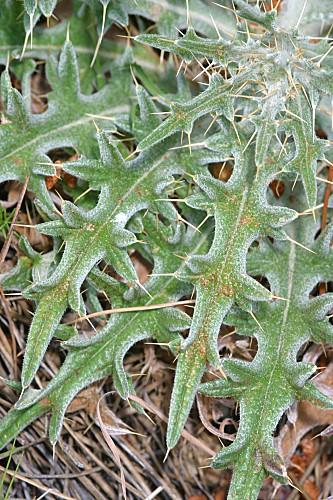 Cirsium echinatum (Desf.) DC.