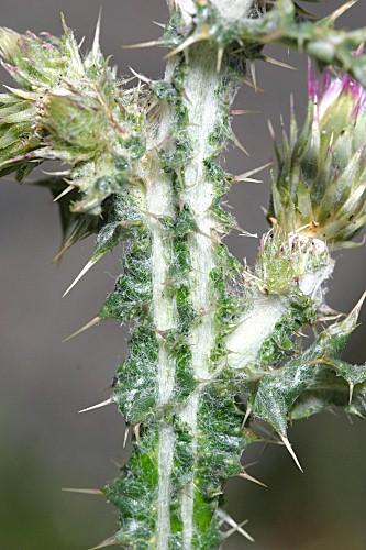 Cirsium palustre (L.) Coss. ex Scop.
