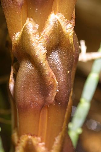 Cistanche phelypaea (L.) Cout.