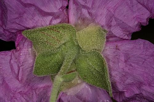 Cistus albidus L.