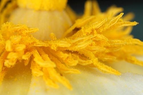 Cistus ladanifer L.