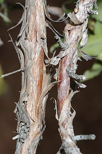 Cistus laurifolius L.