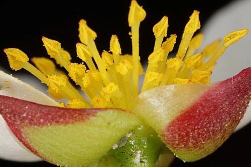 Cistus libanotis L.