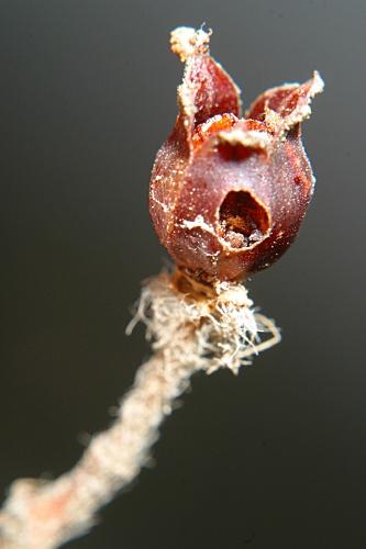 Cistus monspeliensis L.
