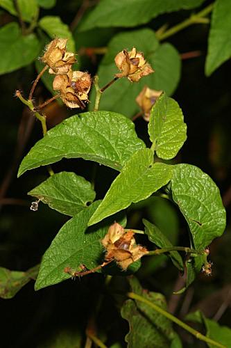 Cistus populifolius subsp. populifolius L.