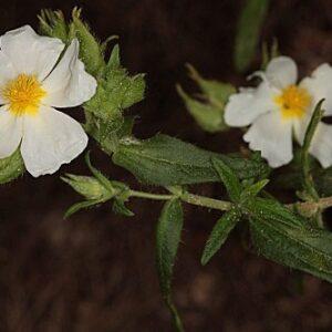 Cistus psilosepalus Sweet