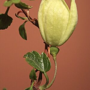 Clematis cirrhosa L.