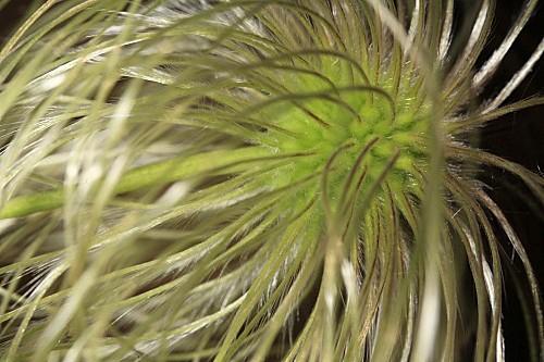 Clematis orientalis L.