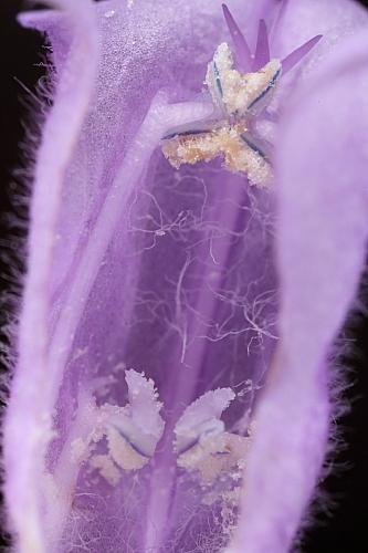 Cleonia lusitanica L.