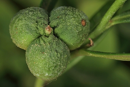 Cneorum tricoccum L.