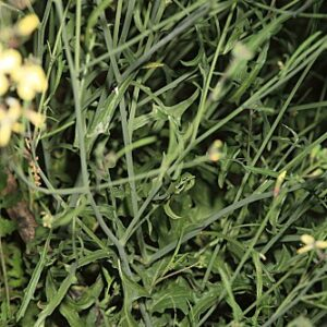 Coincya longirostra (Boiss.) Greuter & Burdet