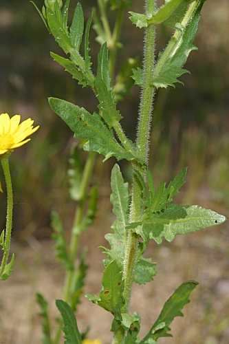Coleostephus myconis (L.) Rchb. fil.
