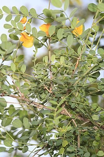 Colutea hispanica Talavera & Arista