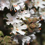 Coris hispanica Lange