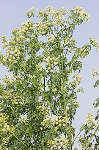 Conium maculatum L.