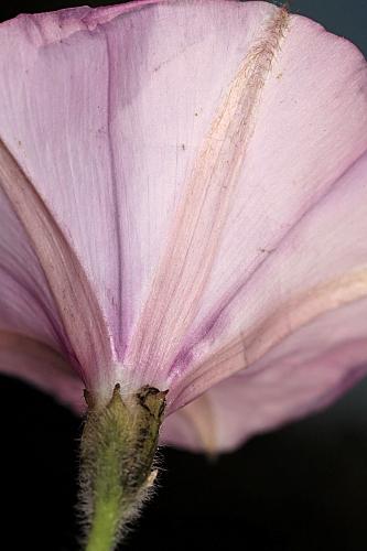 Convolvulus althaeoides L.