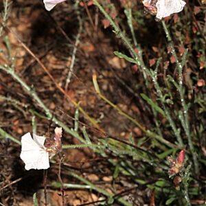 Convolvulus lanuginosus Desr.