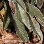 Convolvulus lineatus L.