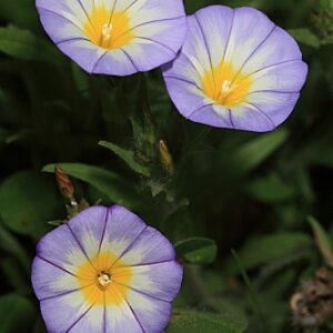 Convolvulus tricolor L.