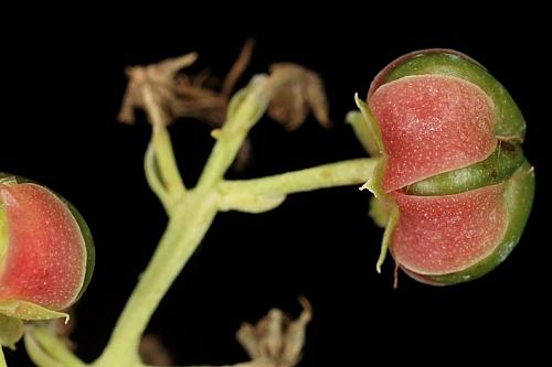 Coriaria myrtifolia L.