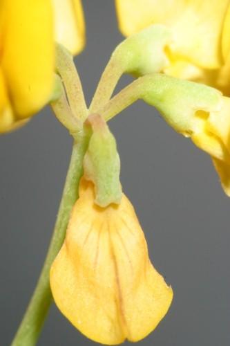 Coronilla minima L.