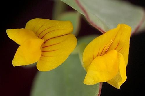 Coronilla scorpioides (L.) W.D.J. Koch